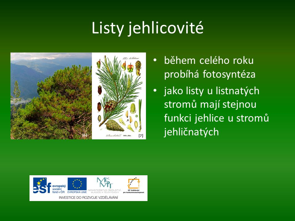 Listy jehlicovité během celého roku probíhá fotosyntéza