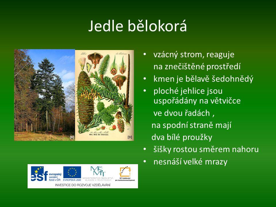 Jedle bělokorá vzácný strom, reaguje na znečištěné prostředí