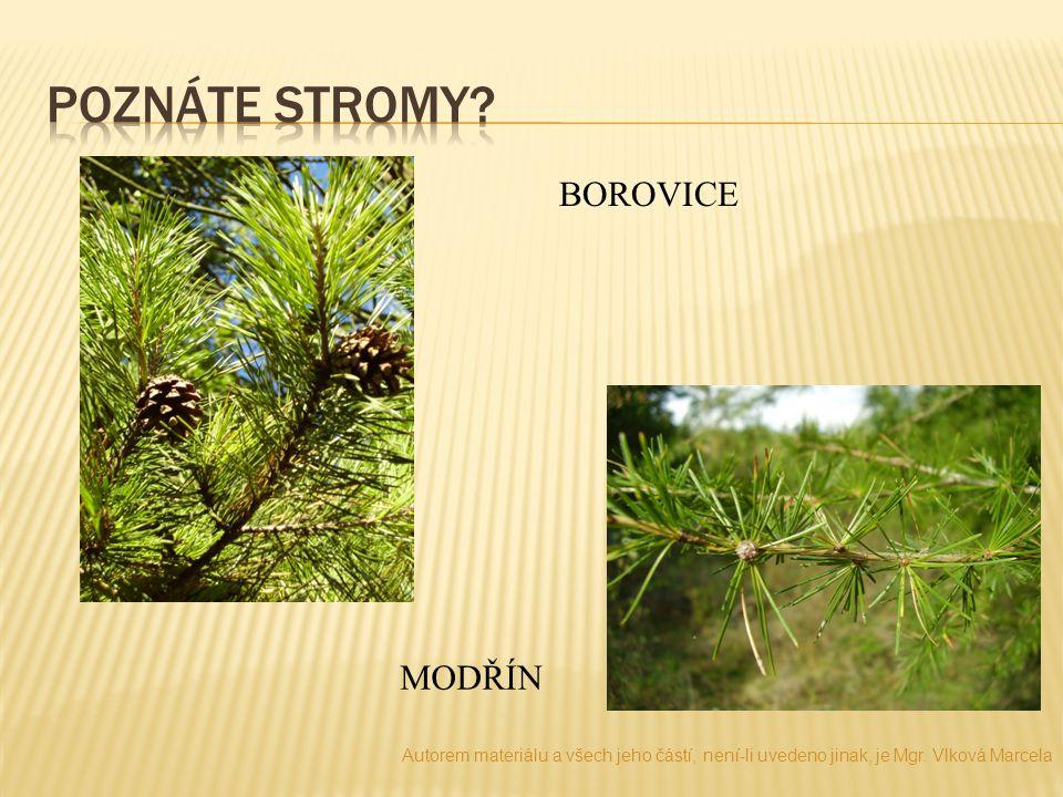 Poznáte stromy BOROVICE MODŘÍN