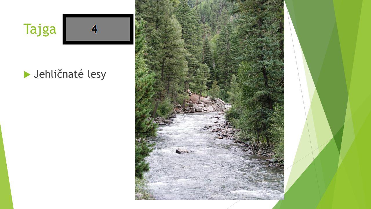 Tajga Jehličnaté lesy