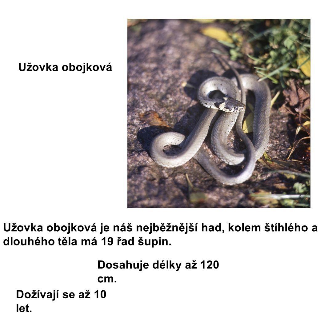 Užovka obojková Užovka obojková je náš nejběžnější had, kolem štíhlého a dlouhého těla má 19 řad šupin.