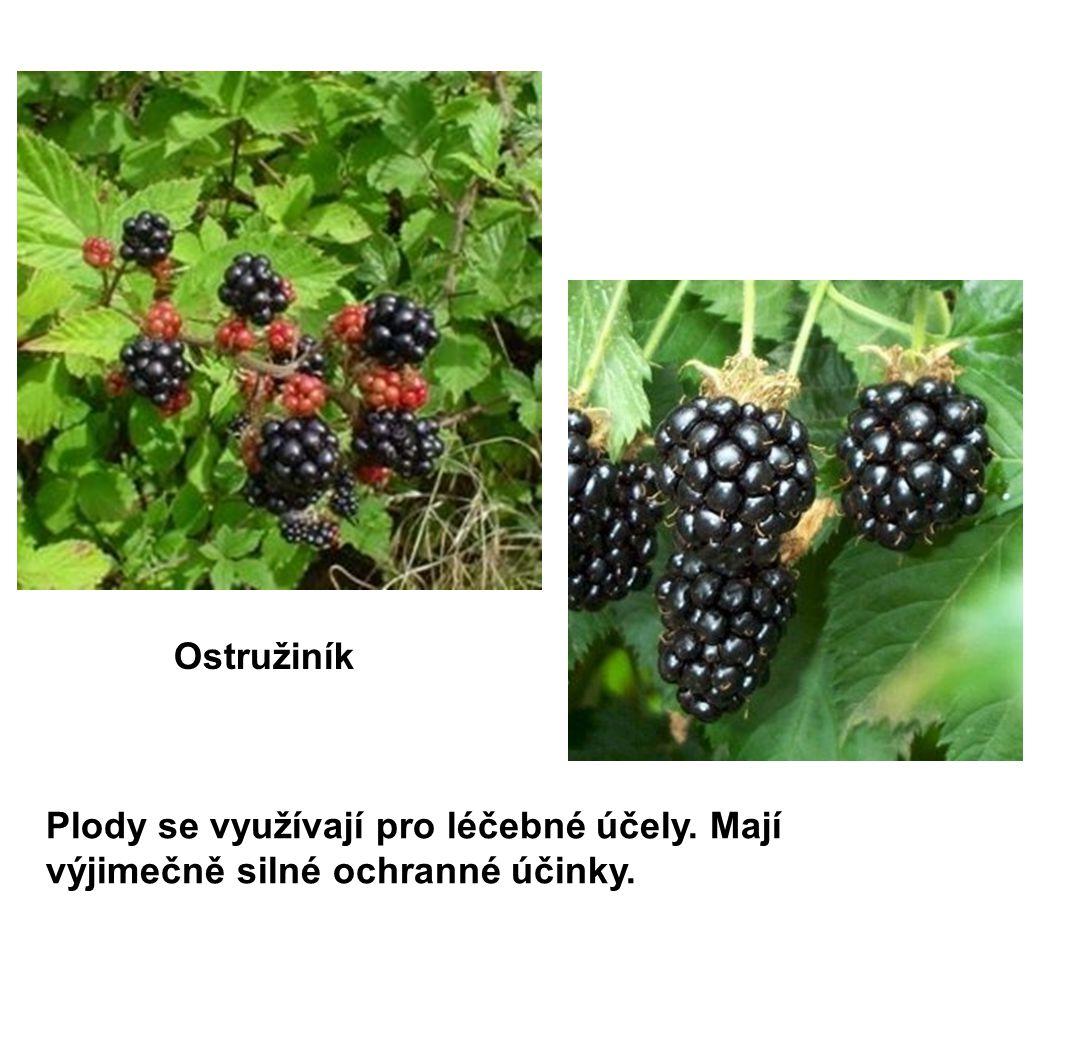 Ostružiník Plody se využívají pro léčebné účely. Mají výjimečně silné ochranné účinky.