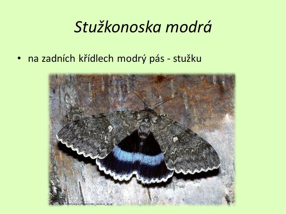 Stužkonoska modrá na zadních křídlech modrý pás - stužku