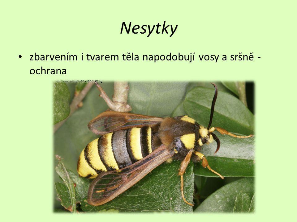 Nesytky zbarvením i tvarem těla napodobují vosy a sršně - ochrana