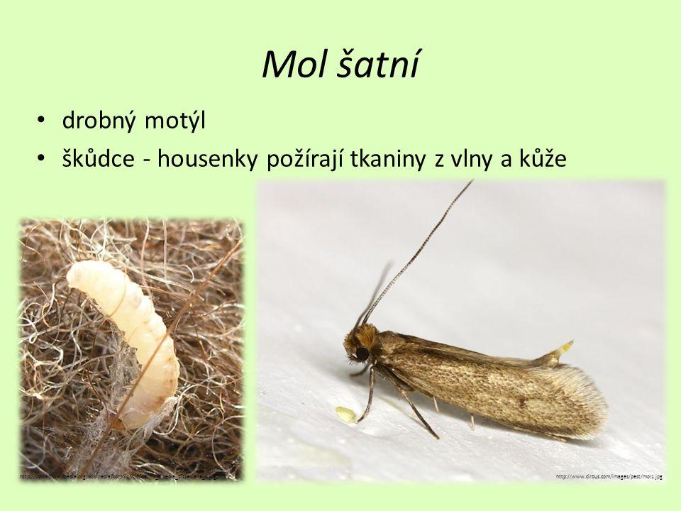 Mol šatní drobný motýl. škůdce - housenky požírají tkaniny z vlny a kůže.