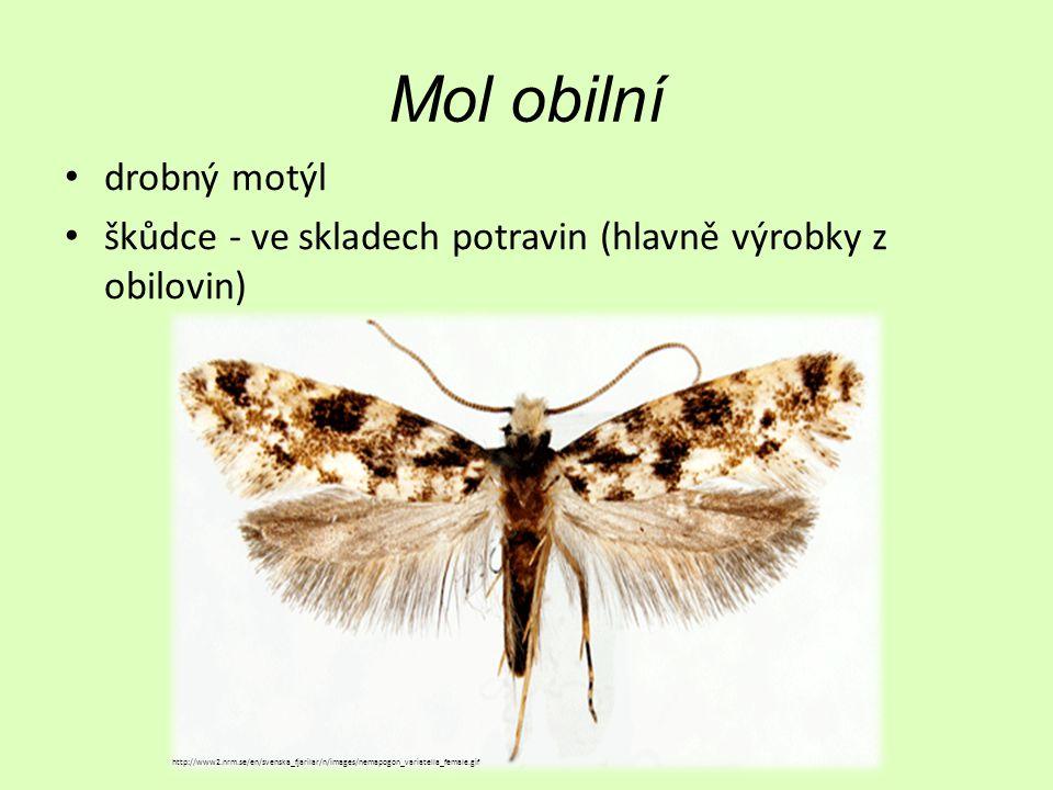 Mol obilní drobný motýl