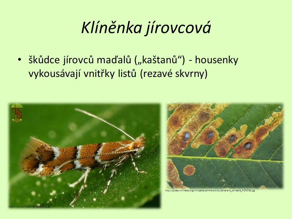 """Klíněnka jírovcová škůdce jírovců maďalů (""""kaštanů ) - housenky vykousávají vnitřky listů (rezavé skvrny)"""
