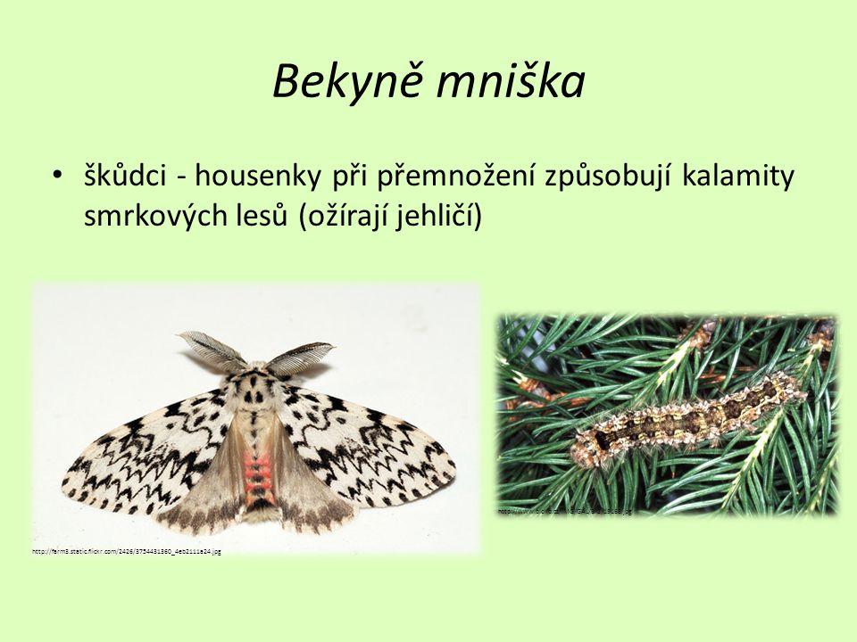 Bekyně mniška škůdci - housenky při přemnožení způsobují kalamity smrkových lesů (ožírají jehličí) http://www.biolib.cz/IMG/GAL/BIG/19168.jpg.