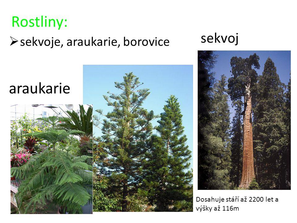 Rostliny: araukarie sekvoj sekvoje, araukarie, borovice
