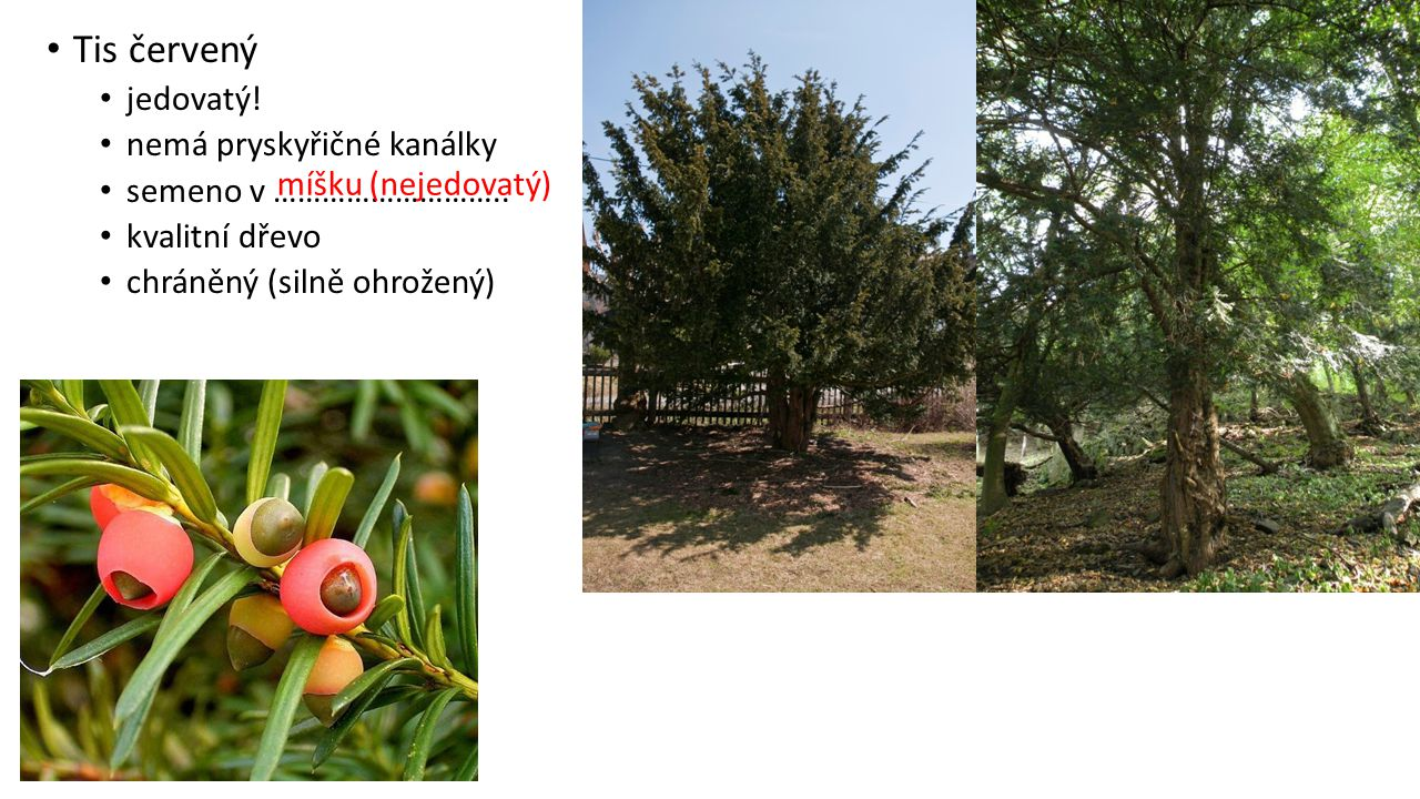 Tis červený jedovatý! nemá pryskyřičné kanálky semeno v ………………………..