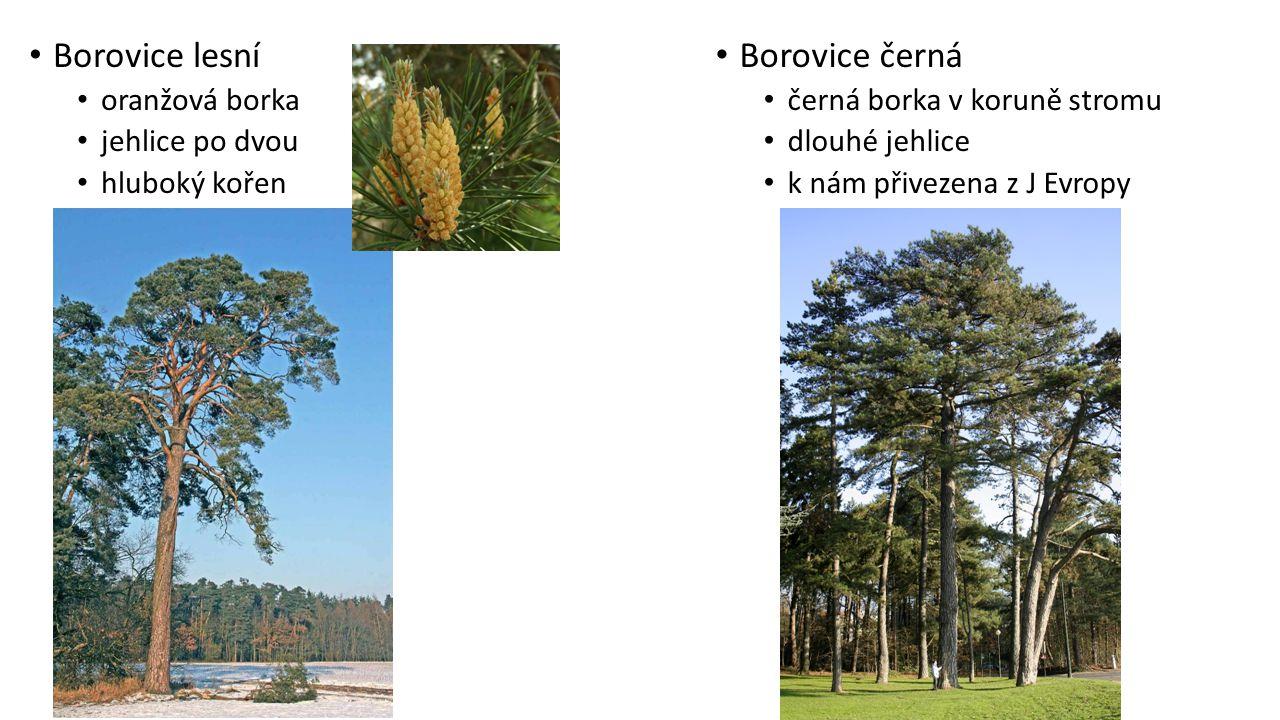 Borovice lesní Borovice černá oranžová borka jehlice po dvou