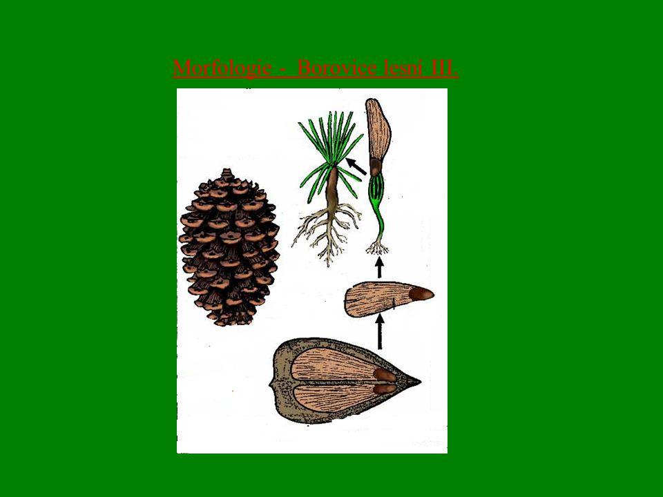 Morfologie - Borovice lesní III.