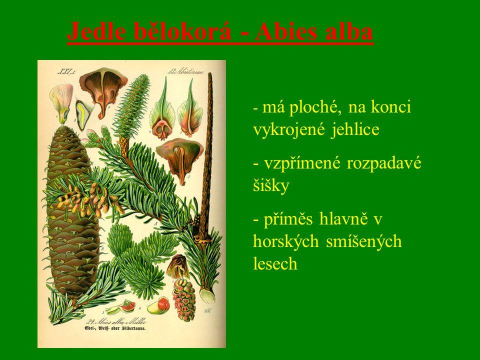 Jedle bělokorá - Abies alba