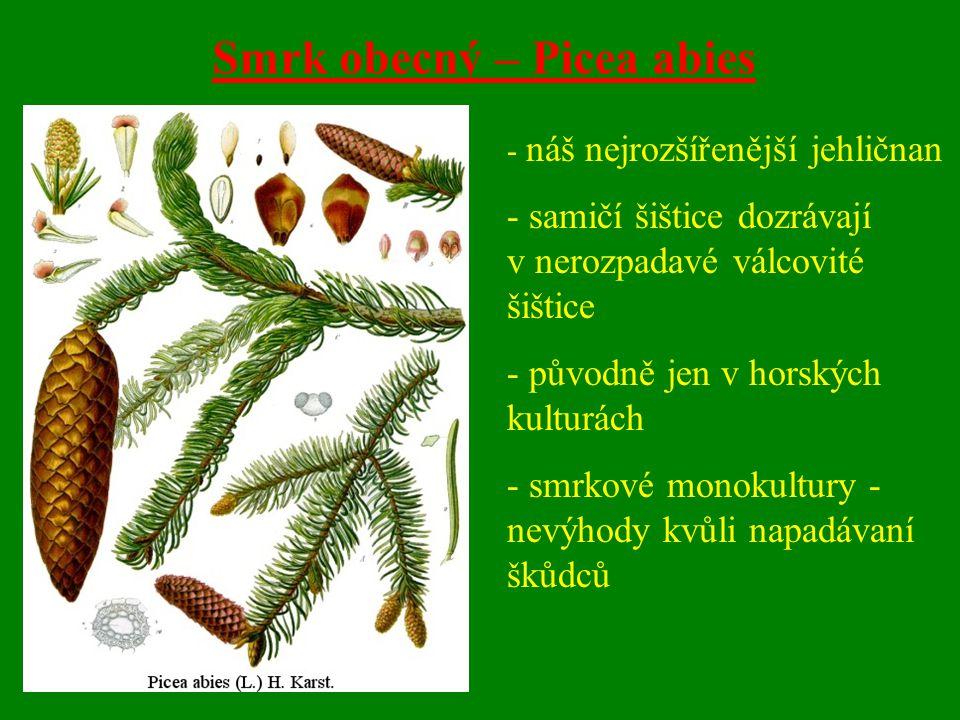 Smrk obecný – Picea abies