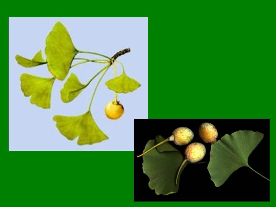 Extrakt z listů jinanu má příznivý vliv na centrální nervový systém a krevní oběh - zlepšuje centrální i periferní prokrvení aterosklerotického původu.