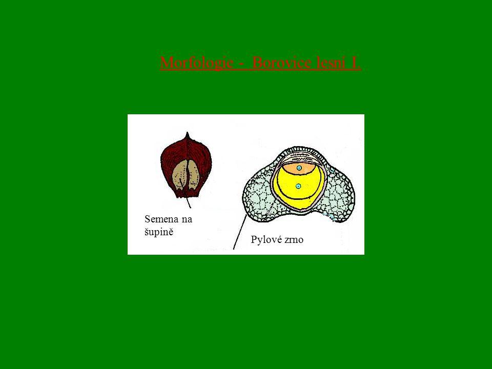 Morfologie - Borovice lesní I.