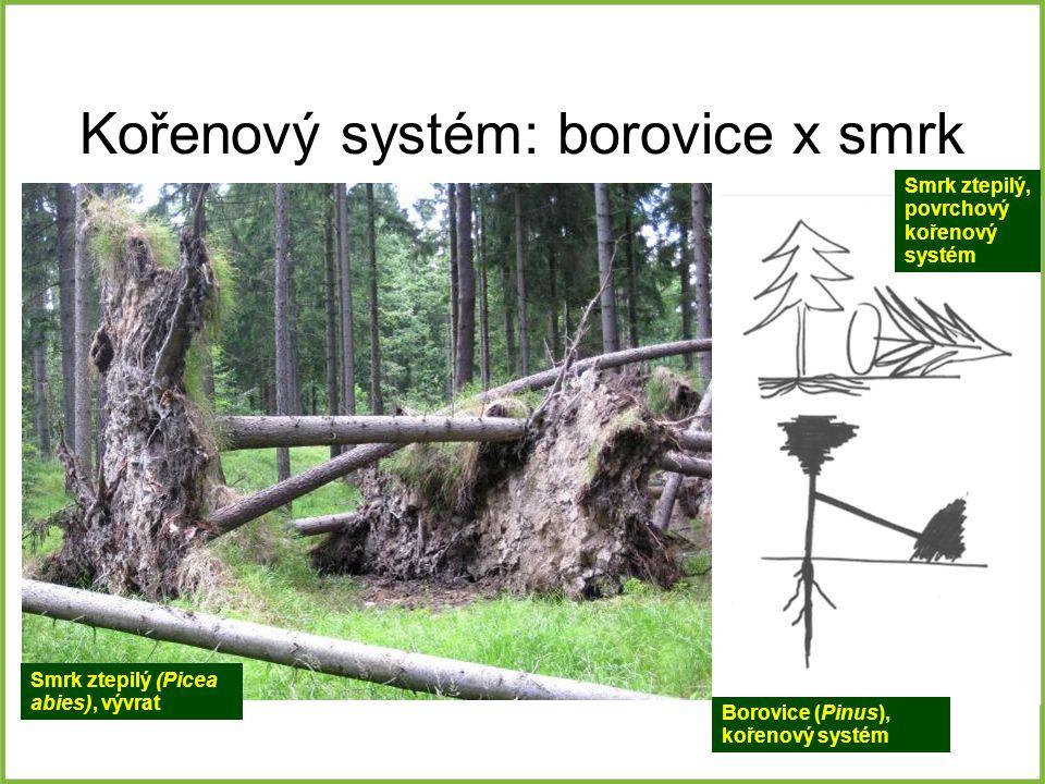 Kořenový systém: borovice x smrk