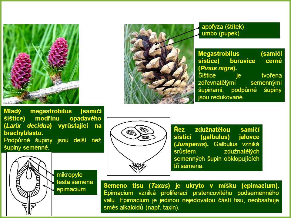 apofyza (štítek) umbo (pupek) Megastrobilus (samičí šištice) borovice černé (Pinus nigra).