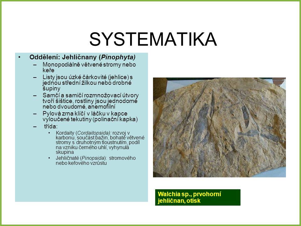 SYSTEMATIKA Oddělení: Jehličnany (Pinophyta)