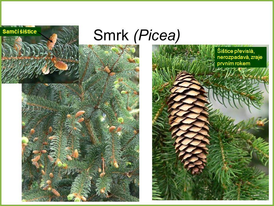 Smrk (Picea) Samčí šištice