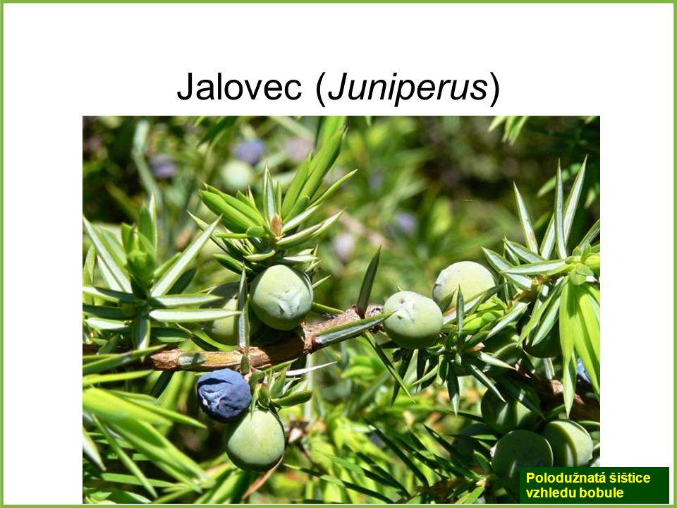 Jalovec (Juniperus) Polodužnatá šištice vzhledu bobule