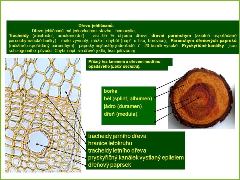 tracheidy jarního dřeva hranice letokruhu tracheidy letního dřeva