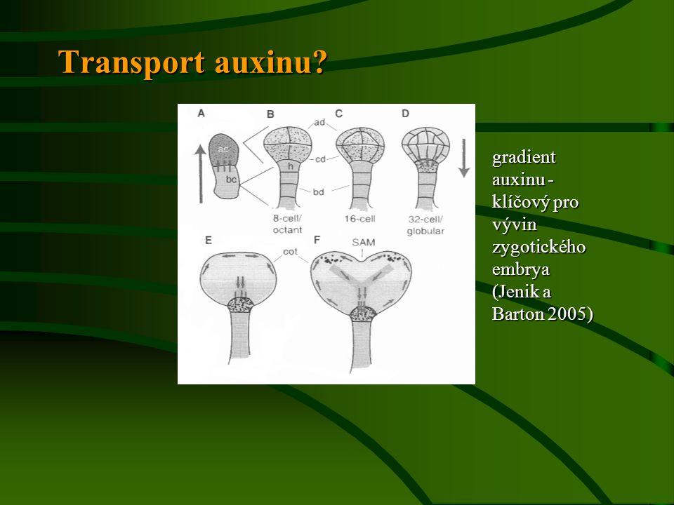 Transport auxinu gradient auxinu - klíčový pro vývin zygotického embrya (Jenik a Barton 2005)