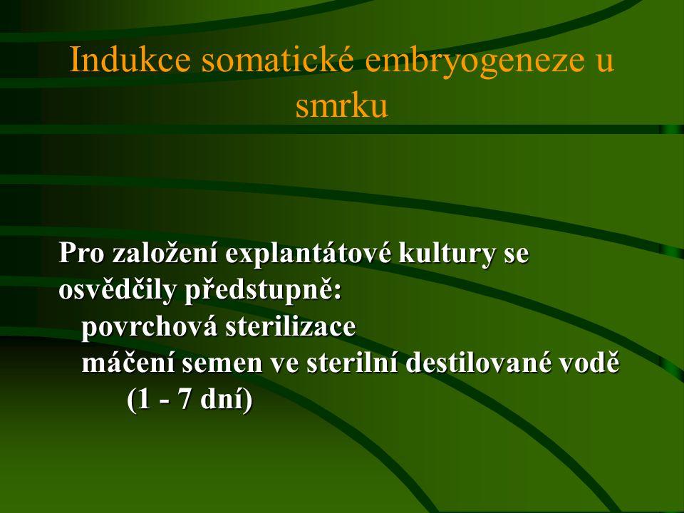 Indukce somatické embryogeneze u smrku