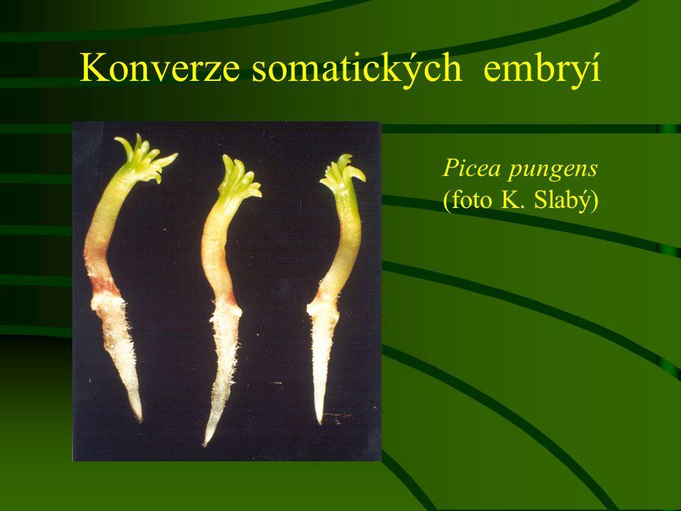 Konverze somatických embryí