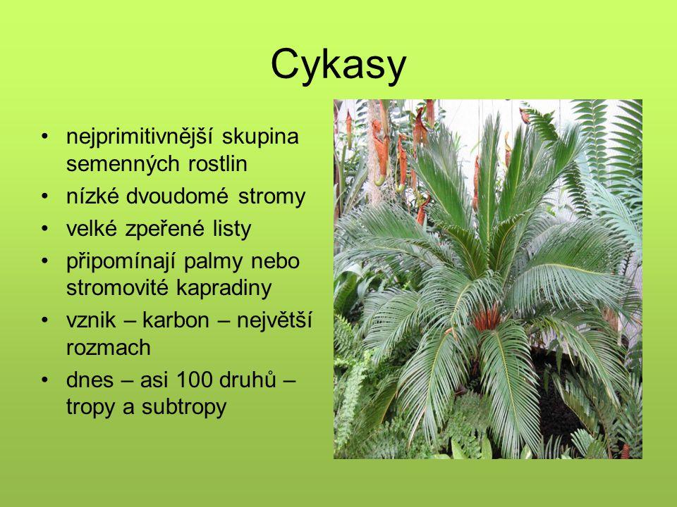 Cykasy nejprimitivnější skupina semenných rostlin