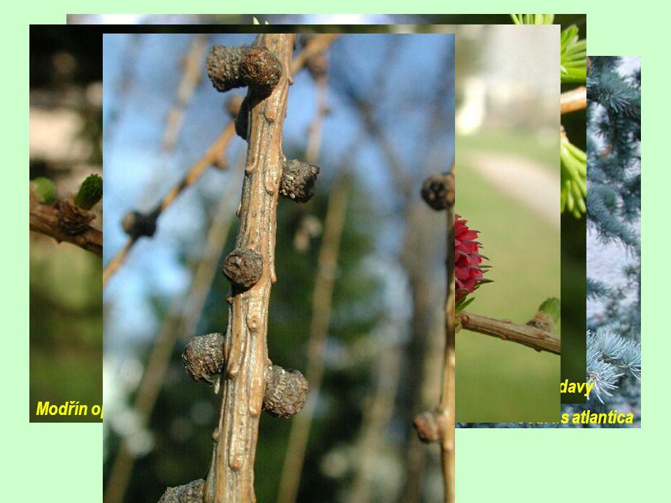 Modřín opadavý /Larix decidua/ (10)