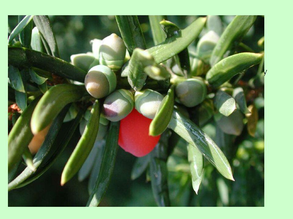 Tis červený /Taxus baccata/