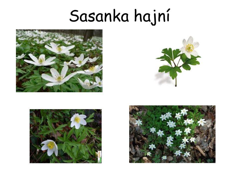 Sasanka hajní
