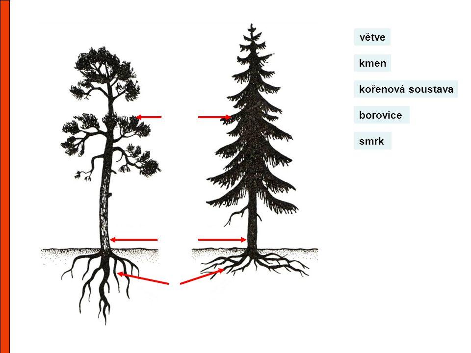 větve kmen kořenová soustava borovice smrk