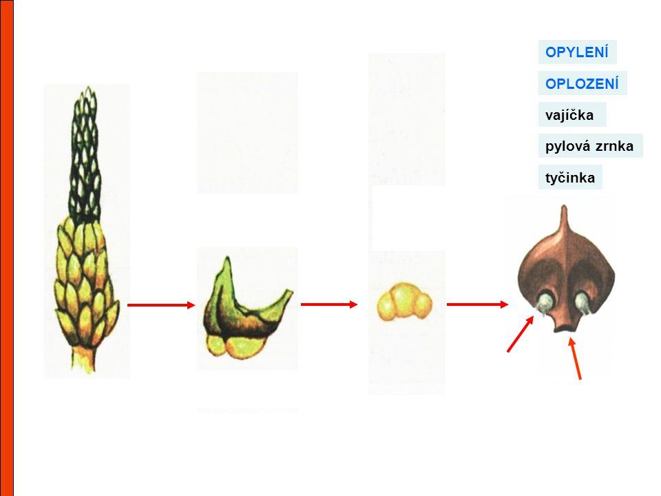 OPYLENÍ OPLOZENÍ vajíčka pylová zrnka tyčinka