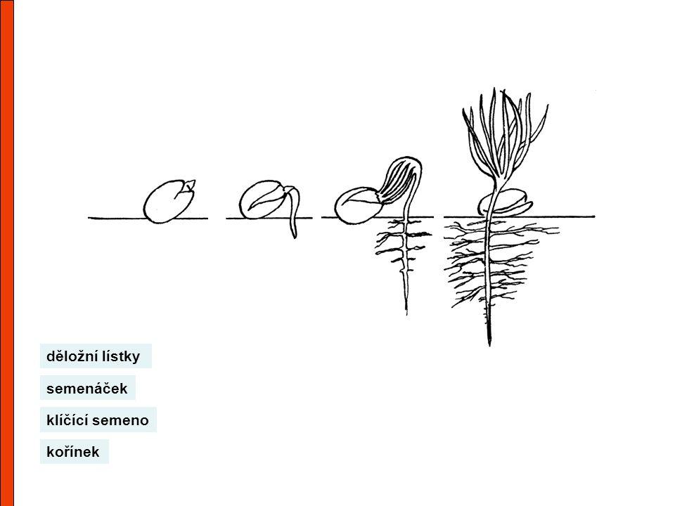 děložní lístky semenáček klíčící semeno kořínek