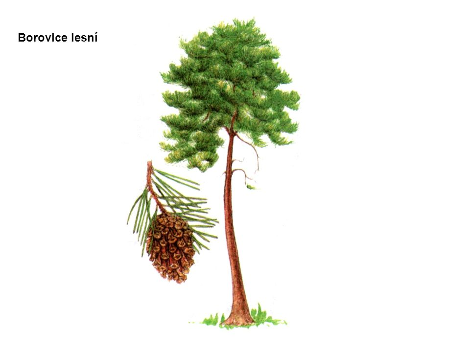Borovice lesní