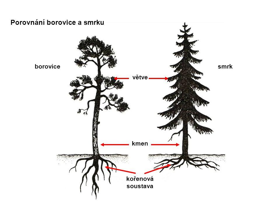 Porovnání borovice a smrku