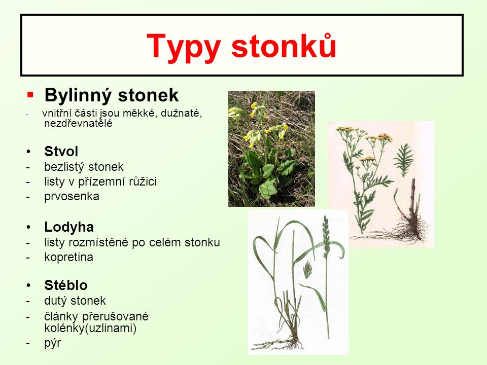 Typy stonků Bylinný stonek Stvol Lodyha Stéblo bezlistý stonek