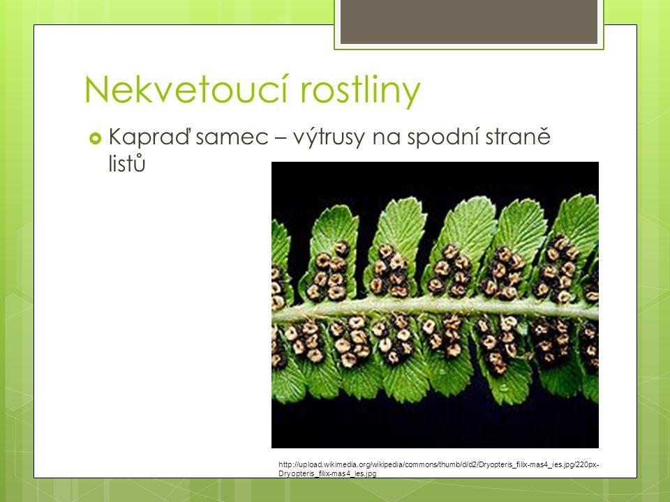 Nekvetoucí rostliny Kapraď samec – výtrusy na spodní straně listů
