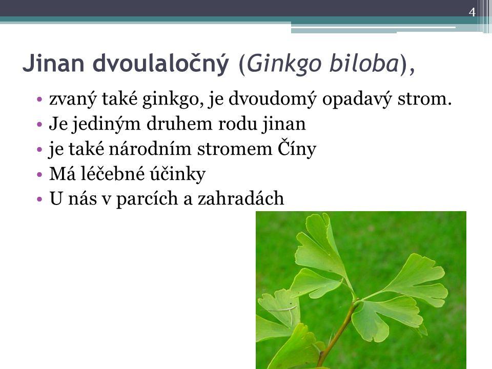 Jinan dvoulaločný (Ginkgo biloba),
