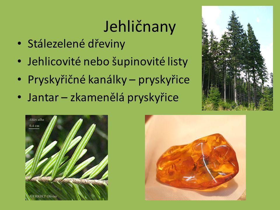Jehličnany Stálezelené dřeviny Jehlicovité nebo šupinovité listy