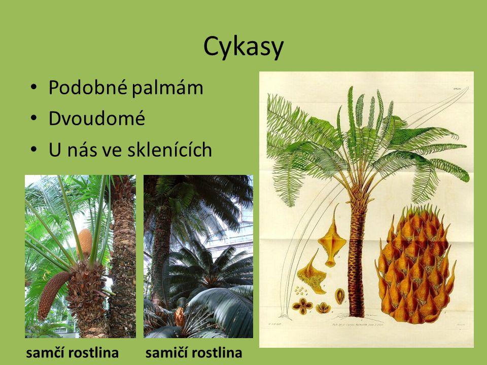 Cykasy Podobné palmám Dvoudomé U nás ve sklenících samčí rostlina