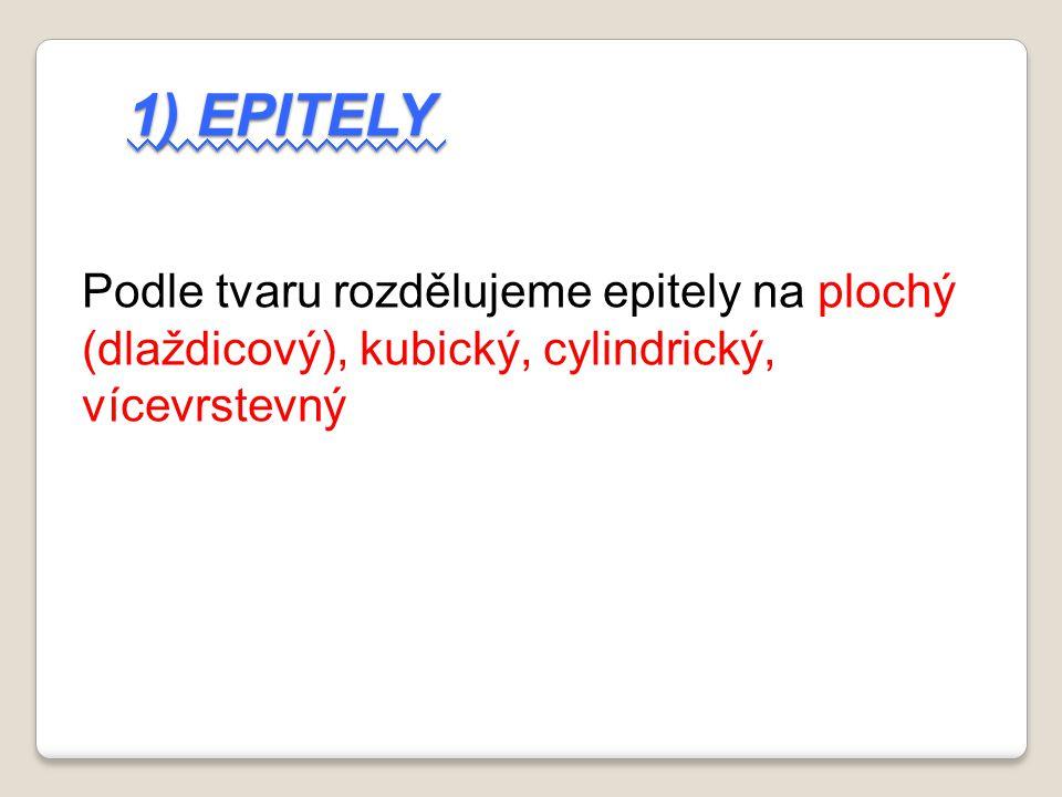 1) Epitely Podle tvaru rozdělujeme epitely na plochý (dlaždicový), kubický, cylindrický, vícevrstevný.