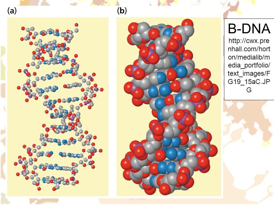 B-DNA http://cwx. prenhall