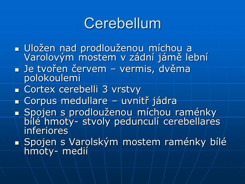 Cerebellum Uložen nad prodlouženou míchou a Varolovým mostem v zádní jámě lební. Je tvořen červem – vermis, dvěma polokoulemi.
