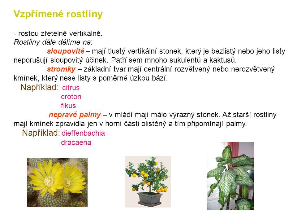 Vzpřímené rostliny Například: citrus - rostou zřetelně vertikálně.