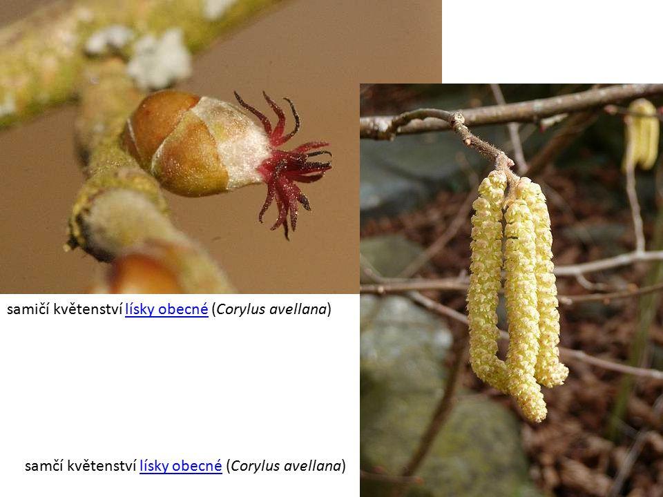 samičí květenství lísky obecné (Corylus avellana)