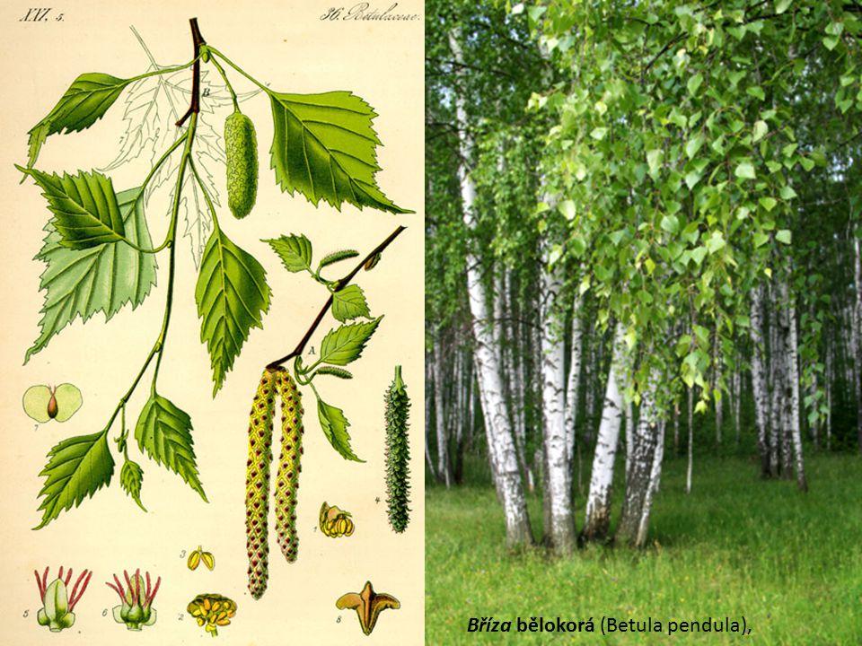 Bříza bělokorá (Betula pendula),