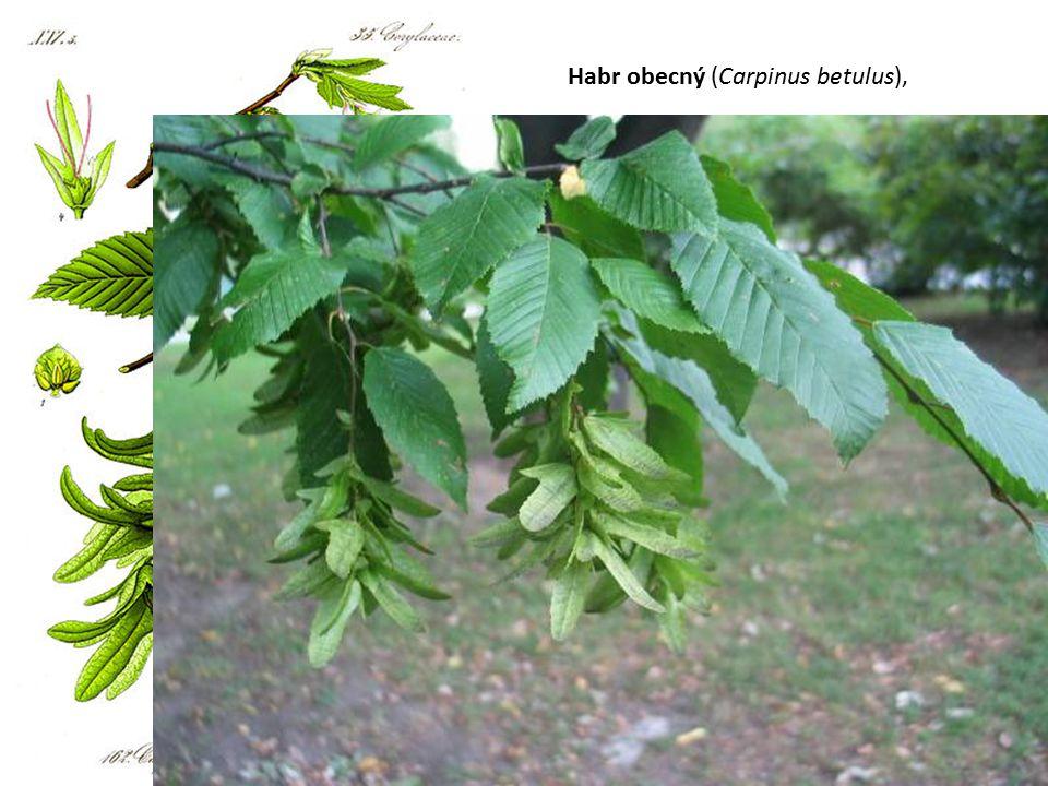 Habr obecný (Carpinus betulus),